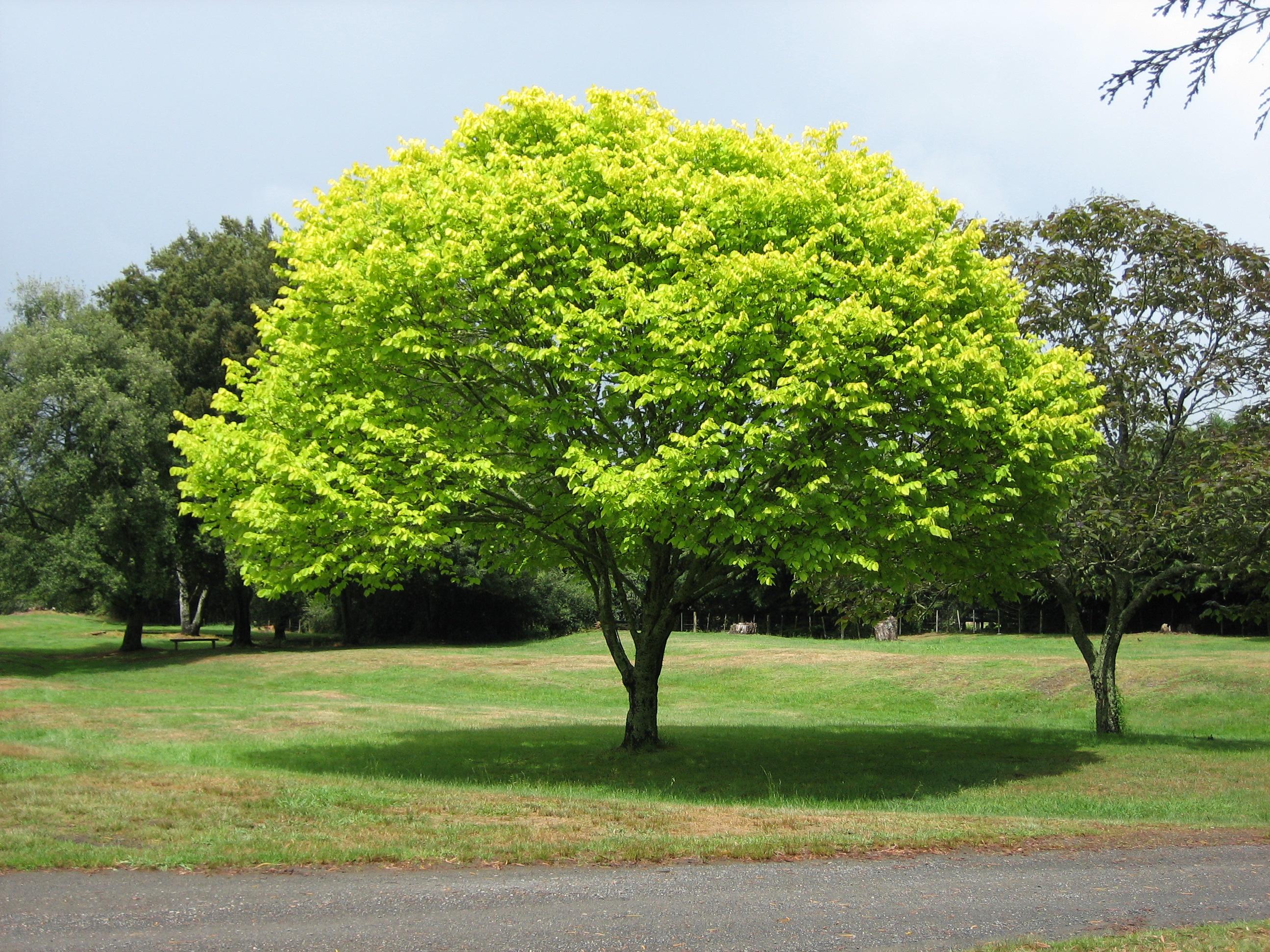 Free Trees for North Minneapolis 985 KTIS 985 KTIS