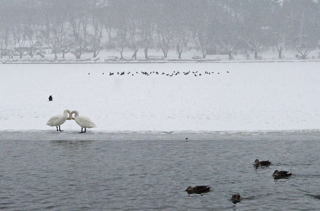 cold swans