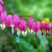 Dicentra spectabilis flowers