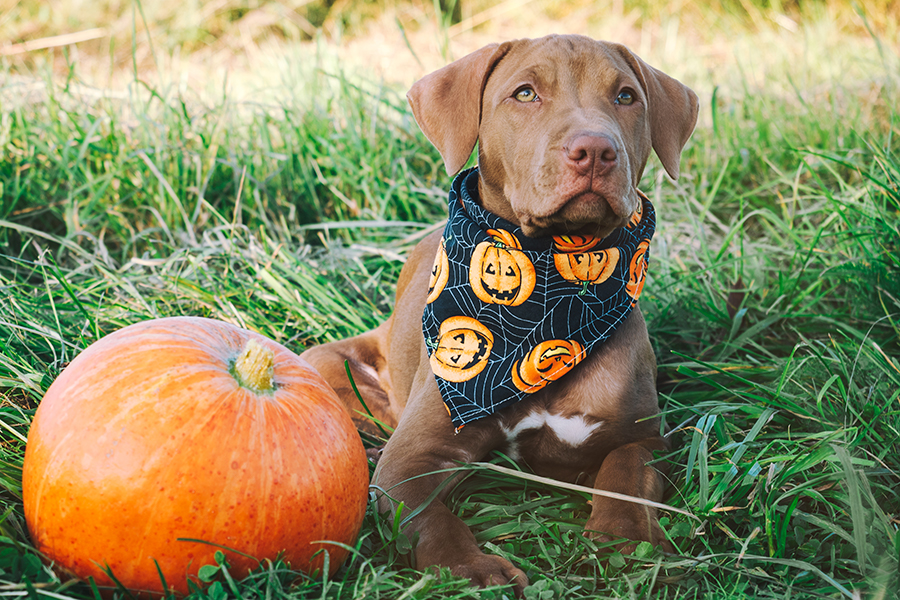 Chocolate lab puppy sitting next to pumpkin