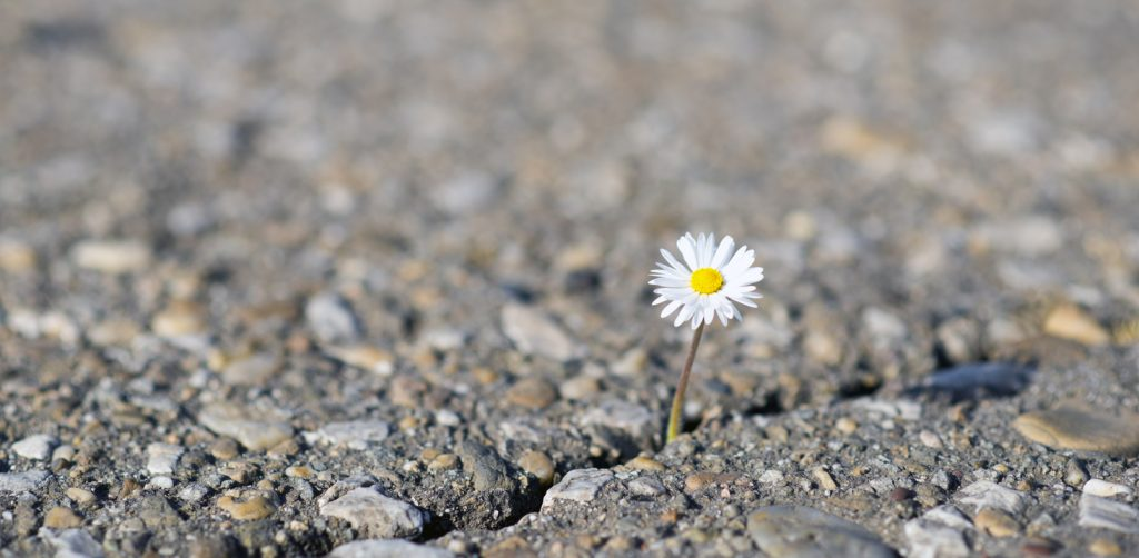 daisy on cracked ground