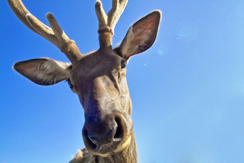 Close-up perspective shot of a friendly reindeer.