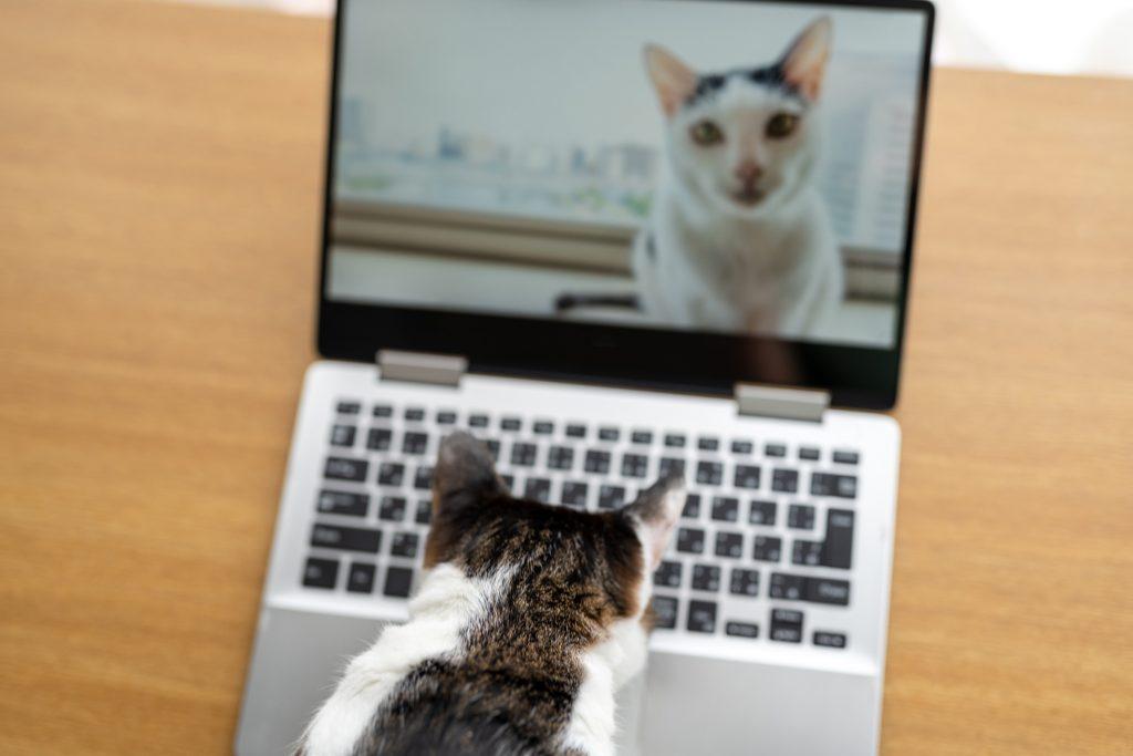 Cats having video call