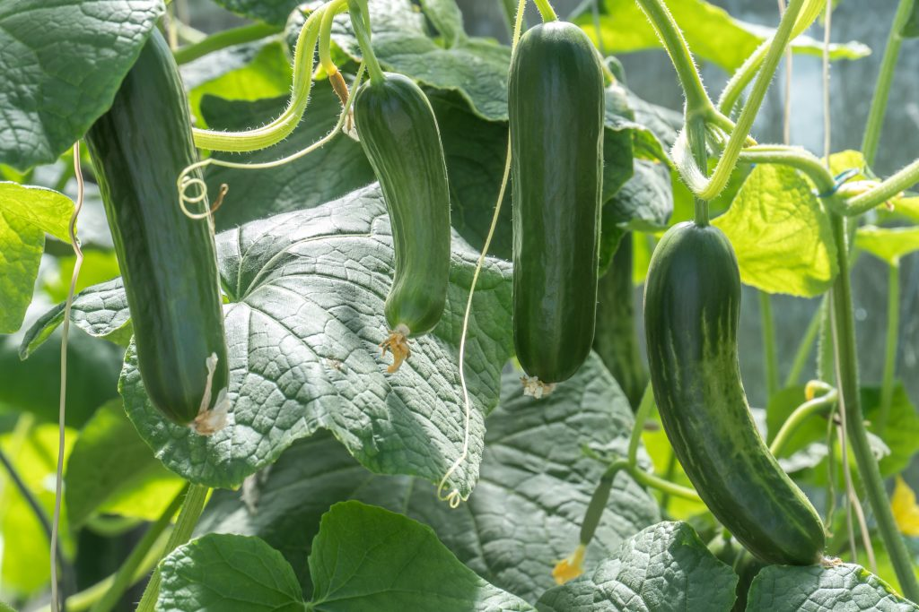 Planting and Harvesting. Zucchini plants
