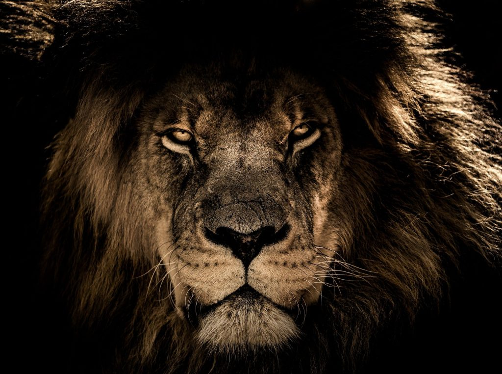The face of a male lion coming out of the dark.